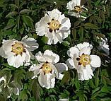 Півонія деревовидна White 3 роки, фото 4