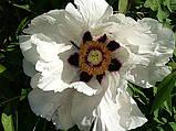Півонія деревовидна White 3 роки, фото 2