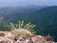 Греческий горный чай 100