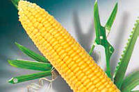 Семена кукурузы Сингента Делитоп ФАО 220