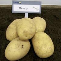 Мелоди среднепоздний сорт высокоурожайный лежкий вкусный устойчив к заболеваниям класс 1Р ф 35-55 мм Голландия