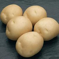 Картофель Сифра сорт среднепоздний очень урожайный устойчив к болезням вкусный клас 1Р ф 35 - 55 мм Голландия