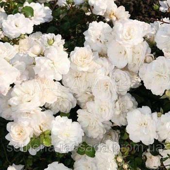 Роза мініатюрна біла (Саджанець 2 роки, ОКС. Відправлення з 15.09.21 р)
