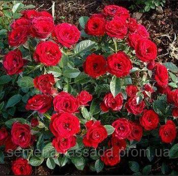 Роза мініатюрна червона (Саджанець 2 роки, ОКС. Відправлення з 15.09.21 р)