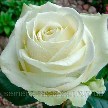 Роза Аваланж біла чайно-гібридна (Саджанець 2 роки, ОКС. Відправлення з 15.09.21 р)