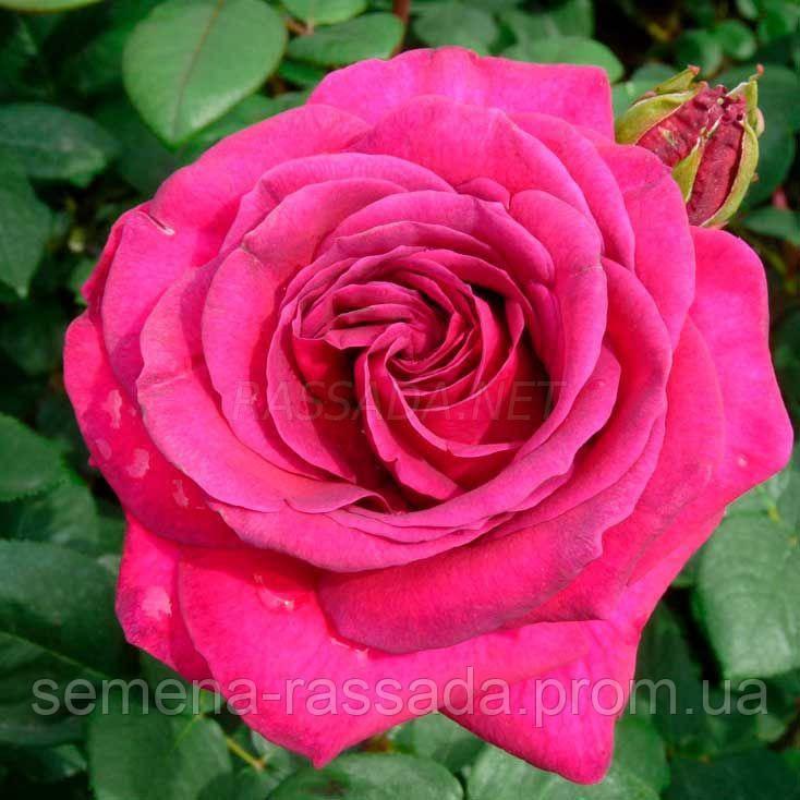 Роза Біг Пьорпл / Big Purple пурпурна чайно-гібридна (Саджанець 2 роки, ОКС. Відправлення з 15.09.21 р)