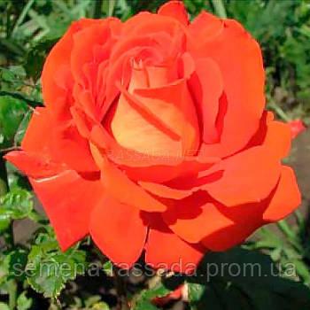 Роза Верано / Verano червона чайно-гібридна (Саджанець 2 роки, ОКС. Відправлення з 15.09.21 р)