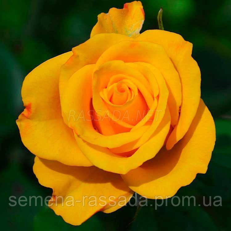 Роза Керио / Kerio жёлтая чайно-гибридная (Саженец 2 года, ОКС. Отправка с 15.09.21 г)