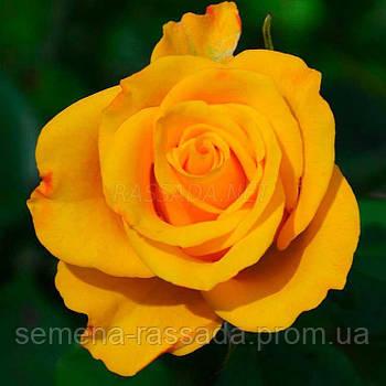 Роза Керіо / Kerio жовта чайно-гібридна (Саджанець 2 роки, ОКС. Відправлення з 15.09.21 р)