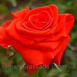 Роза Корвет / Corvette рожева чайно-гібридна (Саджанець 2 роки, ОКС. Відправлення з 15.09.21 р)