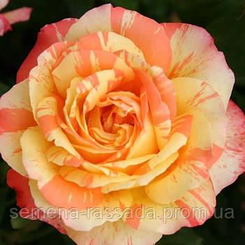 Роза Марвел / Marvelle жовта чайно-гібридна (Саджанець 2 роки, ОКС. Відправлення з 15.09.21 р)