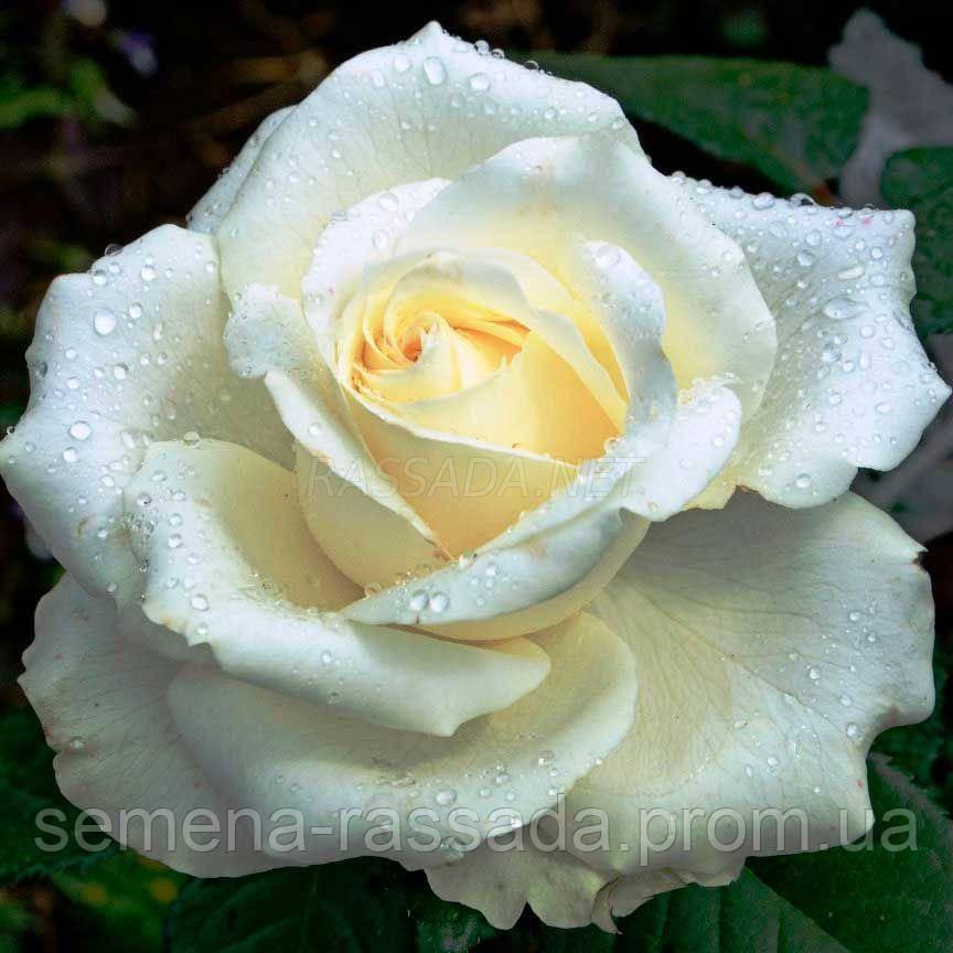 Роза Маруся біла чайно-гібридна (Саджанець 2 роки, ОКС. Відправлення з 15.09.21 р)