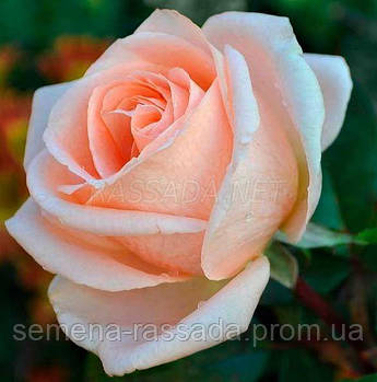 Роза Осіана абрикосова чайно-гібридна (Саджанець 2 роки, ОКС. Відправлення з 15.09.21 р)