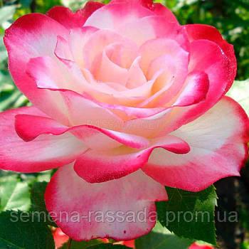 Роза Принц де Монако / Jubile du Prince de Monaco біло-рожева флорибунда (Саджанець 2 роки, ОКС. Відправлення
