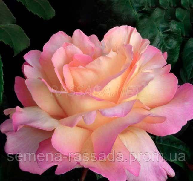 Роза Глорія Дей / Gloria Dei чайно-гібридна (Саджанець 2 роки, ОКС. Відправлення з 15.09.21 р)