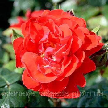 Роза Хорус / Chorus червона флорибунда (Саджанець 2 роки, ОКС. Відправлення з 15.09.21 р)