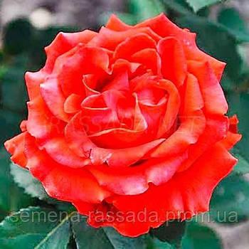 Роза Ель Торо / El Toro червона чайно-гібридна (Саджанець 2 роки, ОКС. Відправлення з 15.09.21 р)