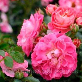 Роза мініатюрна рожева (Саджанець 2 роки, ОКС. Відправлення з 15.09.21 р)