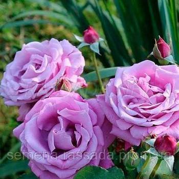 Роза мініатюрна блакитна (Саджанець 2 роки, ОКС. Відправлення з 15.09.21 р)