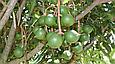 Горіх макадамія Преміум 200г Австралія очищена без шкаралупи горіхи макадамія, фото 4