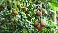 Горіх макадамія Преміум 200г Австралія очищена без шкаралупи горіхи макадамія, фото 5
