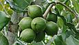 Горіх макадамія Преміум 200г Австралія очищена без шкаралупи горіхи макадамія, фото 8