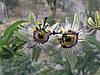 Пассифлора Голубая Кассиопея семена (3шт)