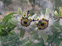 Пассифлора Голубая Кассиопея семена (3шт), фото 1