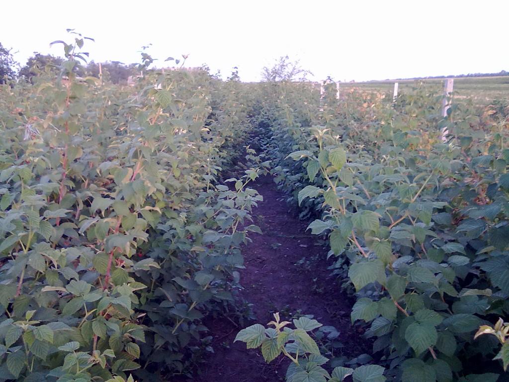 Участок летней малины Мираж