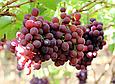 Изюм Джамбо темный сушеный 200г Чили, сухофрукт из винограда, крупный чилийский изюм без косточек, фото 8