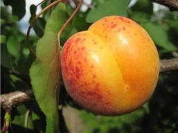Июньский ранний-саженцы абрикоса