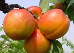 Голд Рич-абрикос