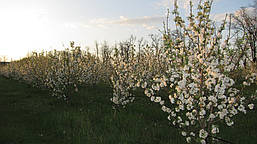 Наш яблоневый сад