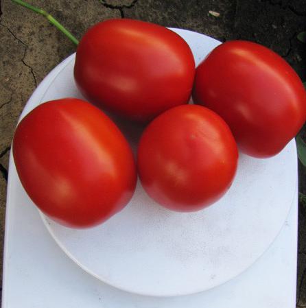 Семена томата Литтано F1, Clause 5 000 семян | профессиональные