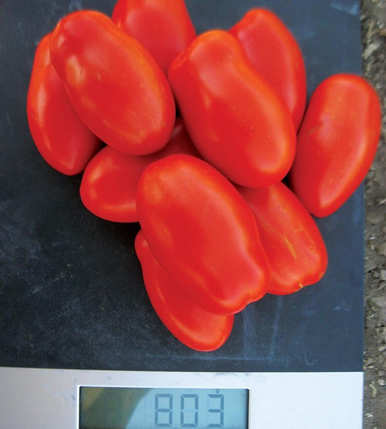 Семена томата Реактор F1, Clause 25 000 семян | профессиональные