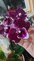 "Орхидея. Сорт Bright peacock x Yushan mongo размер 2.5"" без цветов"