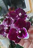 """Орхидея подросток. Сорт Bright peacock x Yushan mongo размер 1.7"""" без цветов"""