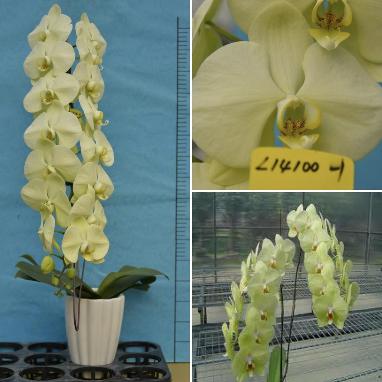 """Орхідея підліток. Сорт YukidianxBrother Rush... розмір 1.7"""" без квітів"""