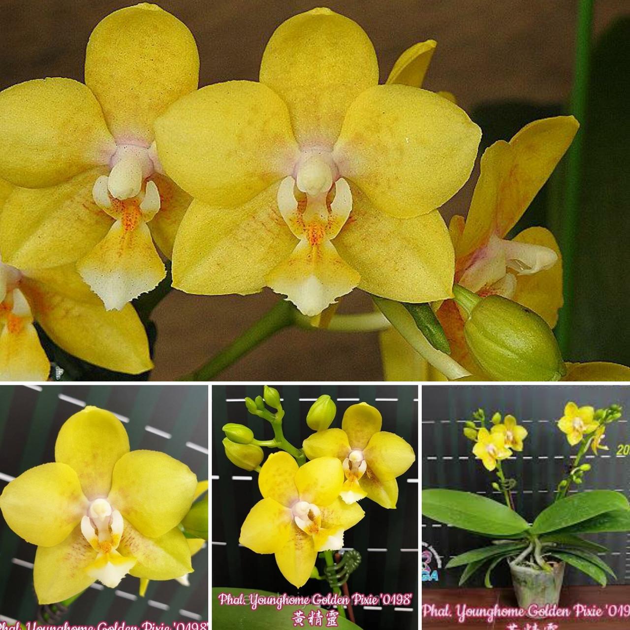 Орхідея фаленопсис. Сорт Phal. Golden pixie, розмір 2.5 без квітів