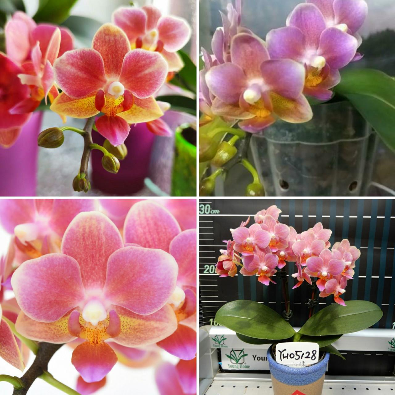 Орхідея підліток. Сорт Fragrance Lover, розмір 1.7 без квітів