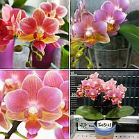 Орхідея підліток. Сорт Fragrance Lover, розмір 1.7 без квітів, фото 1