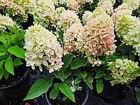 Гортензия метельчатая Литл Фреско / Hydrangea paniculata 'Little Fresco' , ЗКС С 2 литра