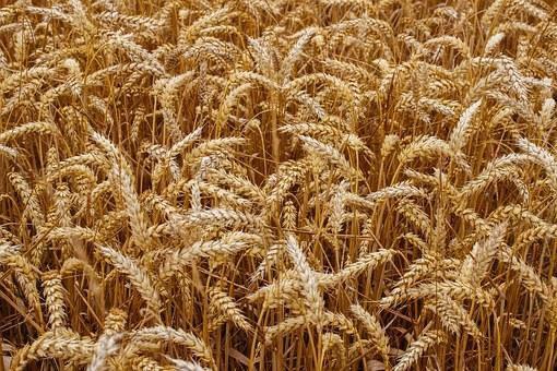 Озимая пшеница Таня  элита безостая Краснодарская, фото 2
