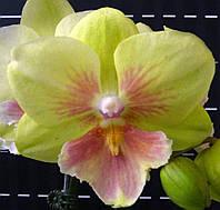 """Орхідея. Сорт Lee1281 розмір 2.5"""" без квітів"""