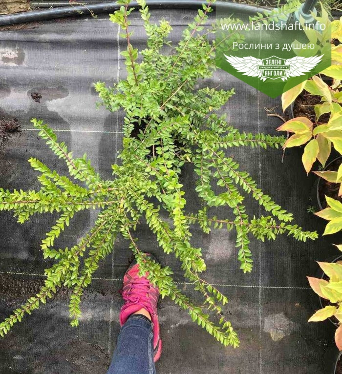 Lonicera pileata, Жимолость шапкова,C2 - горщик 2л