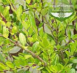 Lonicera pileata, Жимолость шапкова,C2 - горщик 2л, фото 2