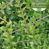 Lonicera pileata, Жимолость шапкова,C2 - горщик 2л, фото 4