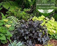 Heuchera hybrida 'Black Pearl', Гейхера гібридна 'Блек Перл',C2 - горщик 2л