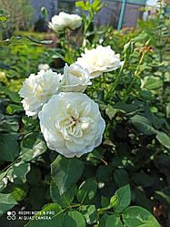 Саженцы розы «Ирен Датская»
