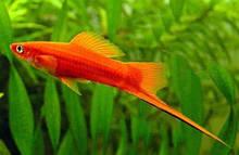 Мечоносець червоний (3 - 3,5 см)
